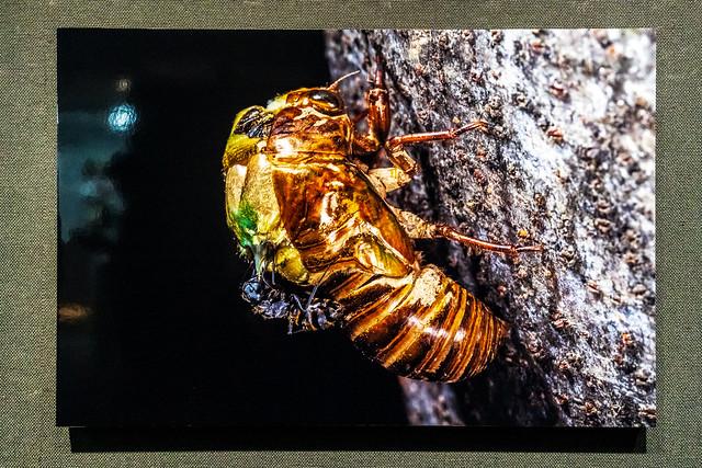 Emerged Cicada preyed on by Ant : 蟻に捕食される羽化中の蝉