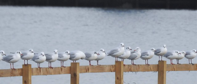 Indecisive Black-Headed Gulls - All Sitting On The Fence