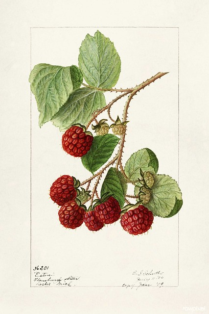 Red Raspberries (Rubus Idaeus) (1906) by Ellen Isham Schutt. Original from U.S. Department of Agriculture Pomological Watercolor Collection. Rare and Special Collections, National Agricultural Library. Digitally enhanced by rawpixel.