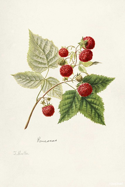 Red Raspberries (Rubus Idaeus) (1891) by Frank Muller. Original from U.S. Department of Agriculture Pomological Watercolor Collection. Rare and Special Collections, National Agricultural Library. Digitally enhanced by rawpixel.
