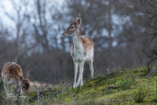 Fallow Deer | Damhert