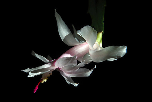Christmas cactus | by scott1346