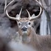 248A7698 I'm busted !, whitetail buck