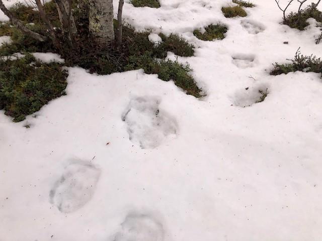 Huellas de oso sobre la nieve en Nikkaluokta (Laponia, Suecia)