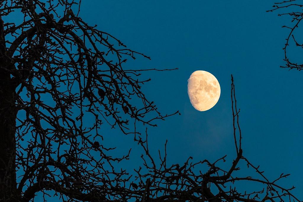 Mond mit Goldenen Henkel hintern kahlem Birnenbaum