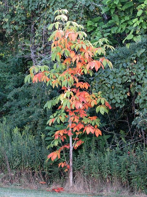 Backyard Buckeye Tree