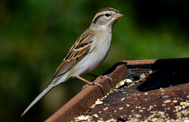 Please Chip In~ Chipping Sparrow (Spizella passerina)