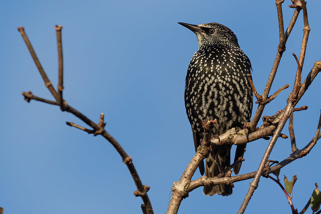 Starling in the Garden.
