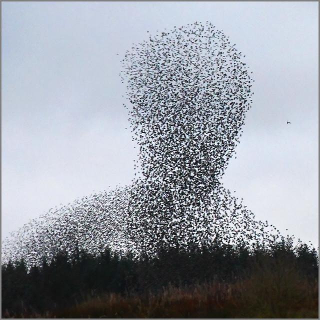 Lock Down II - Day 21 Starlings (Sturnus vulgaris)