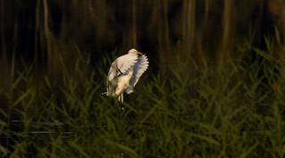 Great Egret completing its landing in a pond..6O3A5704CR2A