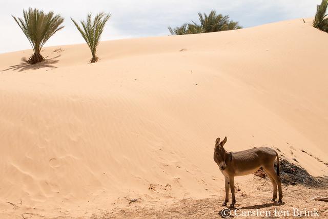 Donkey and dune