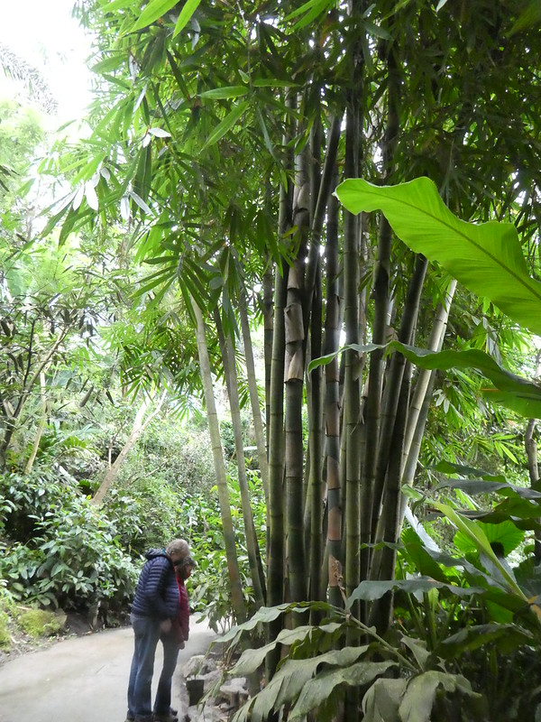 Bamboo in the Rainforest biome at the Eden Project