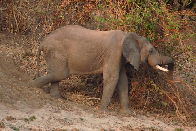 Going down to the river, Savanna elephant, Lugenda River, Reserva do Niassa, Mozambique