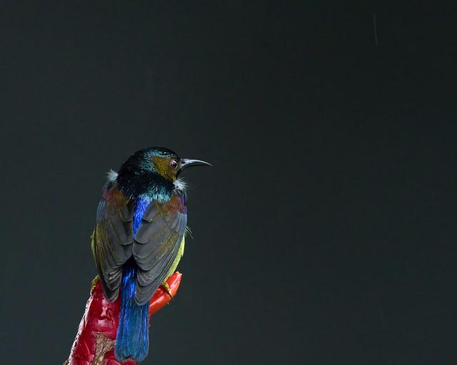 Brown-throated Sunbird - Anthreptes malacensis