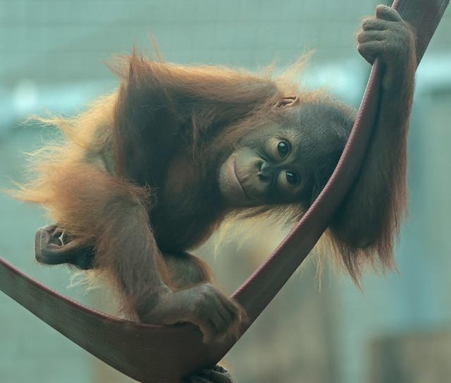 borneo orangutan Minggu Ouwehand 9K2A8245