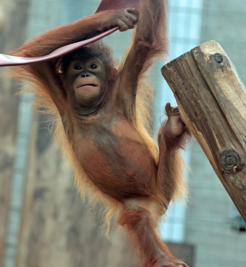 borneo orangutan Minggu Ouwehand 9K2A8345