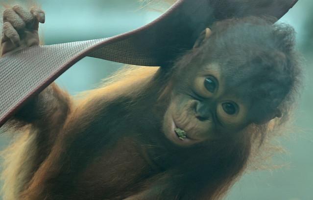 borneo orangutan Minggu Ouwehand 9K2A8167