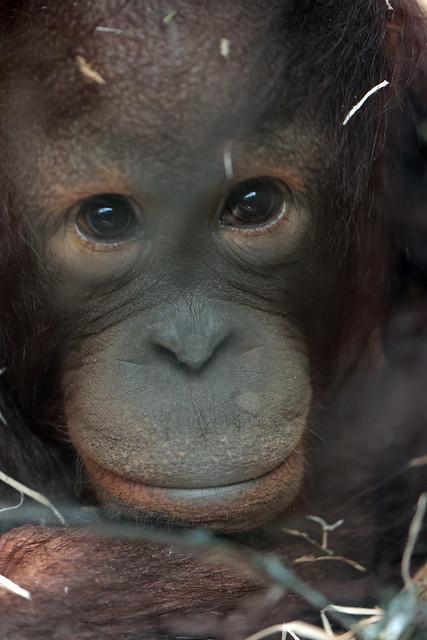 borneo orangutan Sabbar Ouwehand 9K2A7946