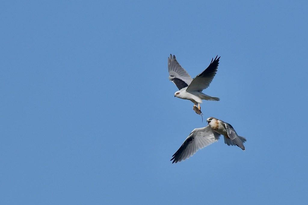 Black-shouldered Kites ( its my turn)