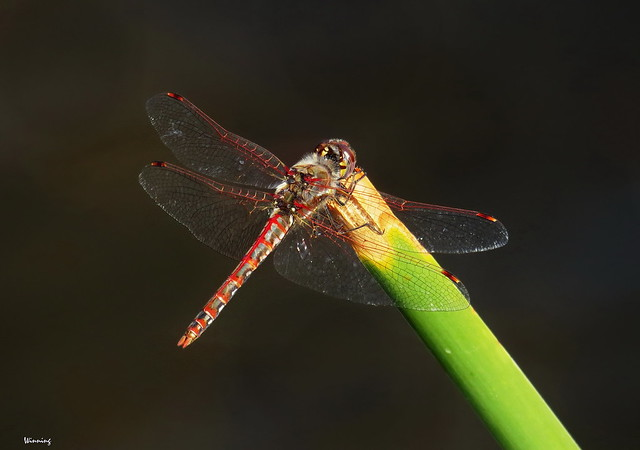 Last Dragonfly Standing  8573