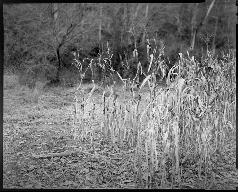 conrnfield, forest's edge, near dusk, Biltmore Estate, Asheville, NC, Graflex Crown Graphic, Schneider Symmar f-5.6, 150mm, Bergger Pancro 400, HC-110 developer, 11.22.20