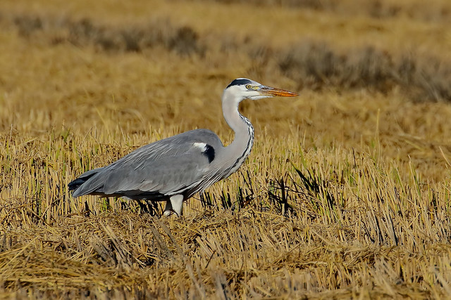 Garça real - Ardea cinerea - Grey heron