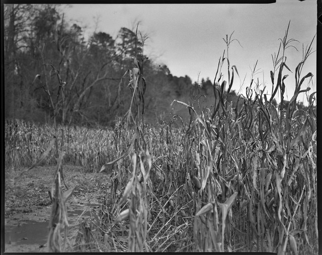 conrnfield II, forest's edge, near dusk, Biltmore Estate, Asheville, NC, Graflex Crown Graphic, Schneider Symmar f-5.6, 150mm, Bergger Pancro 400, HC-110 developer, 11.22.20