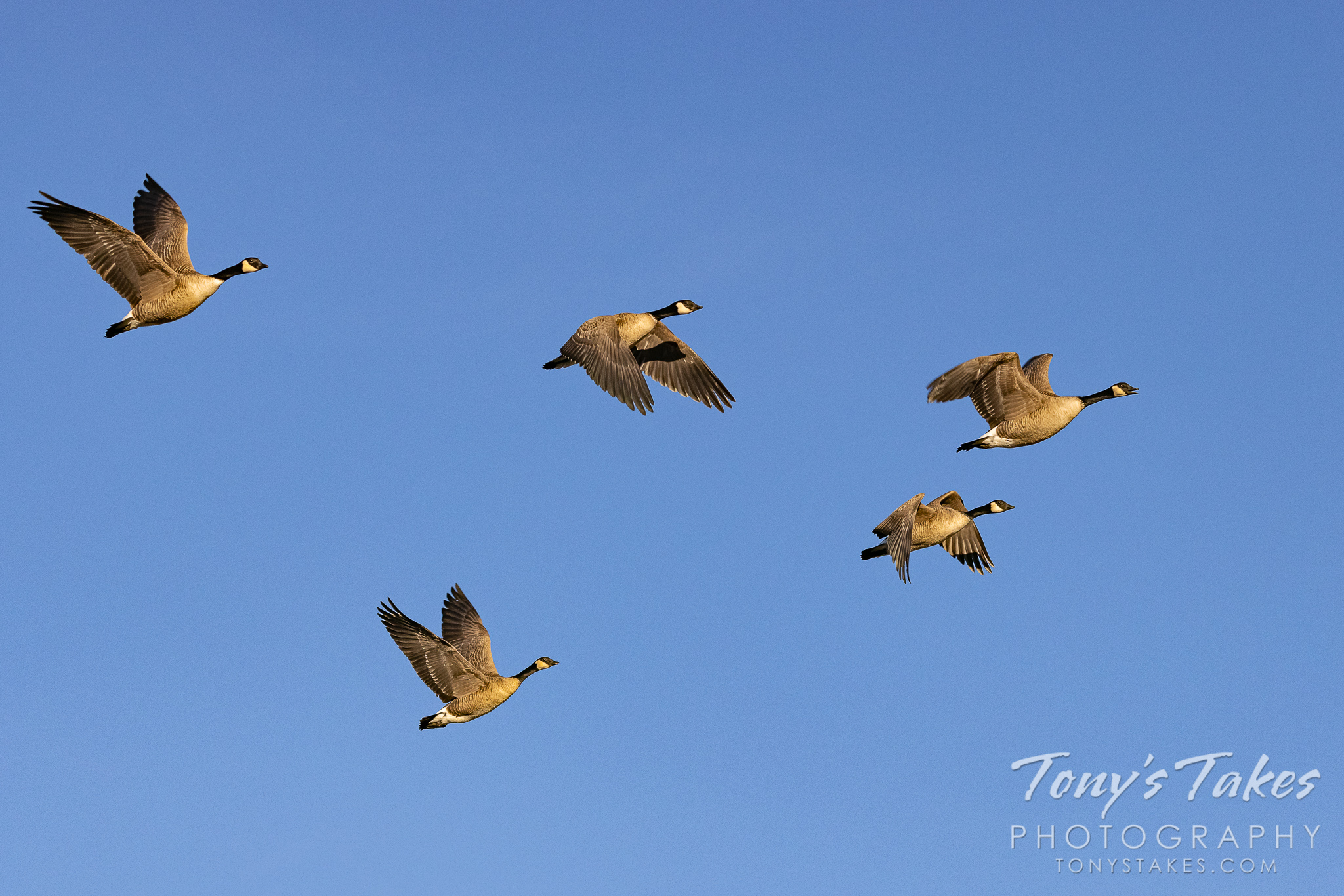 Canada geese gather on a suburban pond in Boulder County, Colorado. (© Tony's Takes)