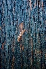 Leaf of a Bald Cypress Tree Stuck in the Bark, Berwyn, IL., 2020