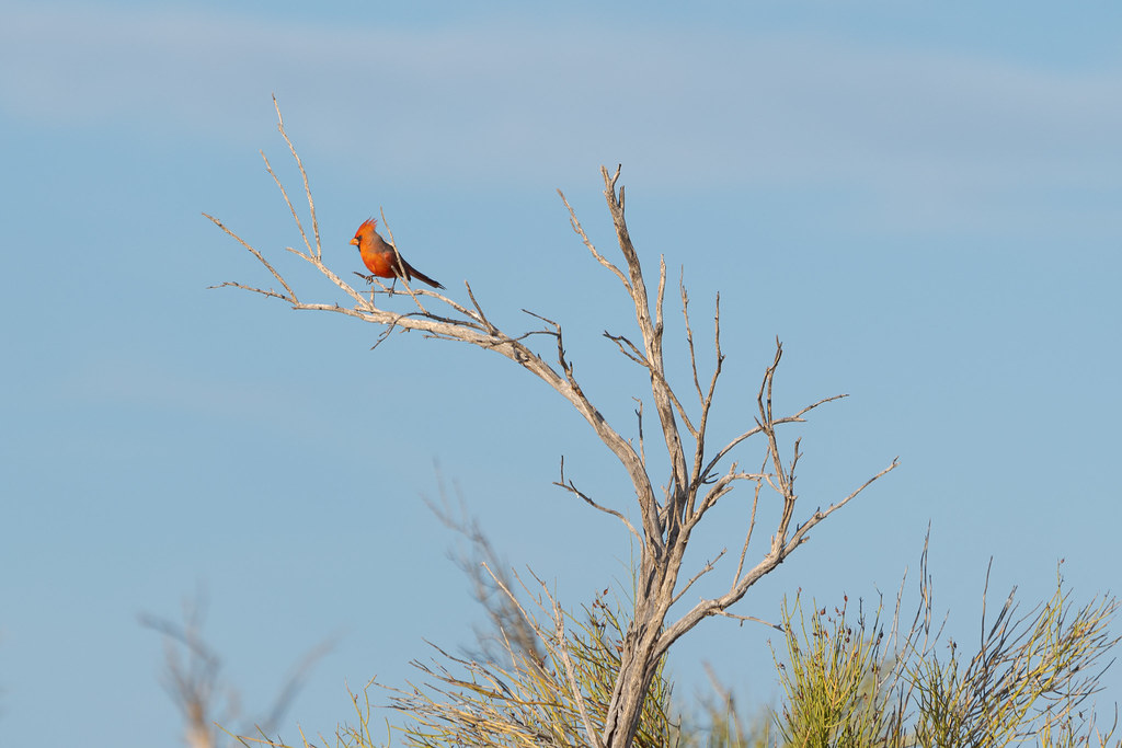 A male northern cardinal perches in a dead tree on the 118th Street Trail in McDowell Sonoran Preserve in Scottsdale, Arizona on November 22, 2020. Original: _RAC8591.arw