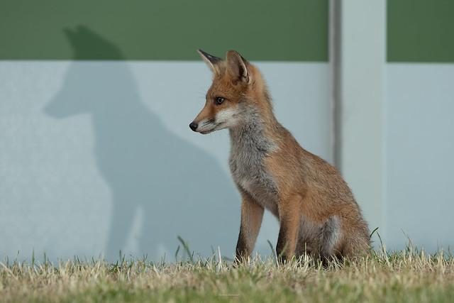 Fox cub I named 'Spot