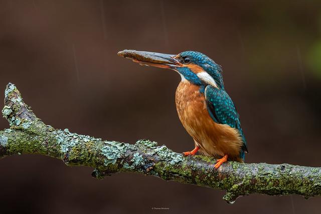 Kingfisher in the rain :)