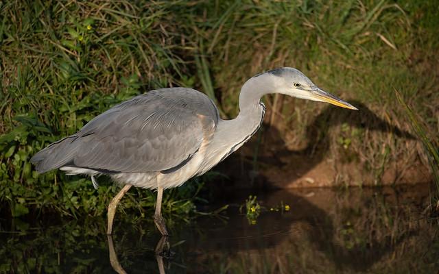 Grey heron (B&T Canal)