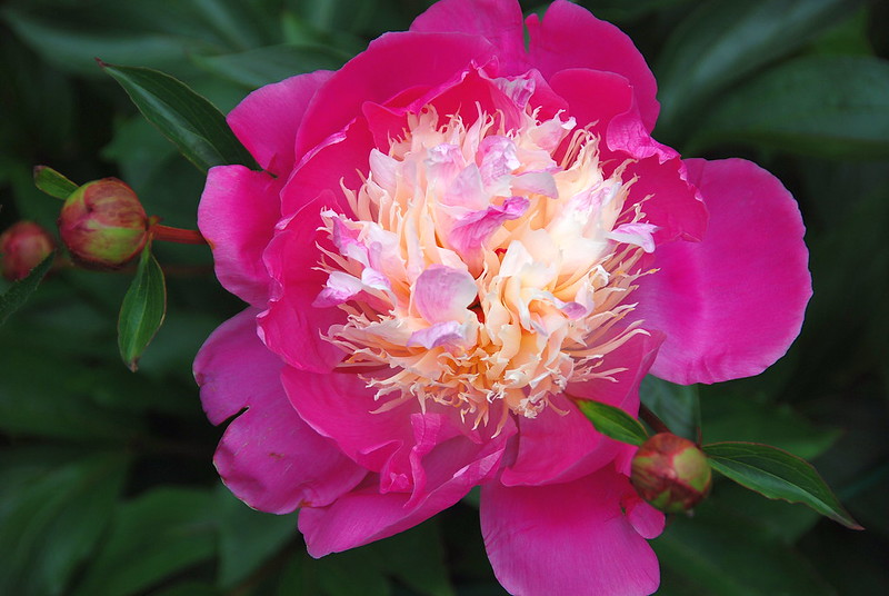 Sometimes a Peony Reminds Me of Strawberries and Cream!