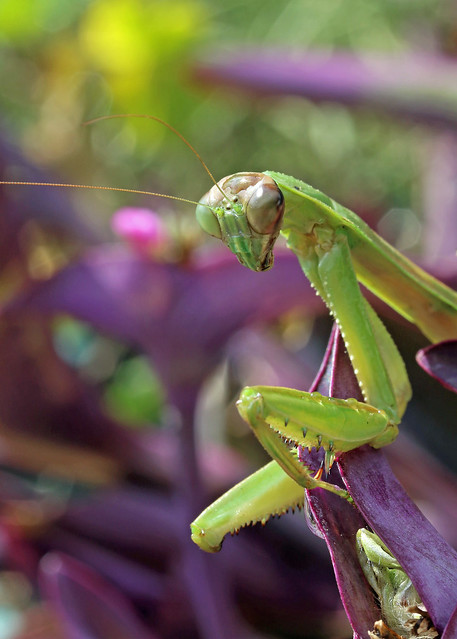Mantis with missing appendage