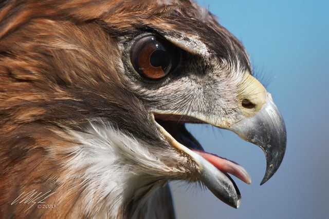 Rebel the Red-tailed Hawk