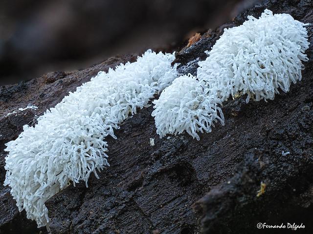 Coral Slimes - Ceratiomyxa