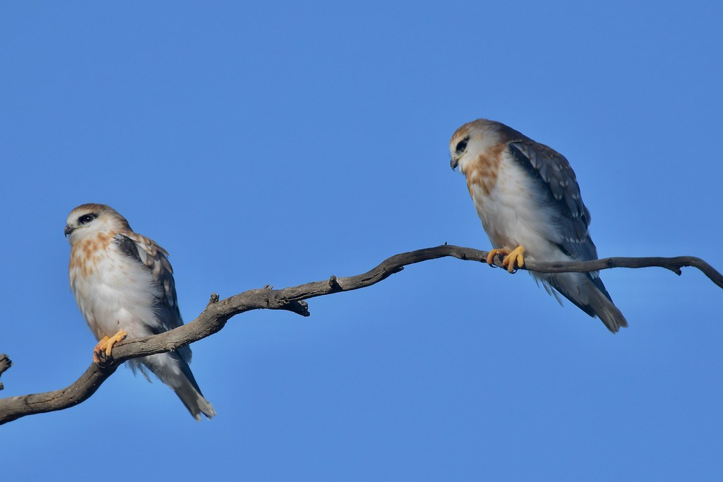 Black- shouldered Kites ( young waiting  )