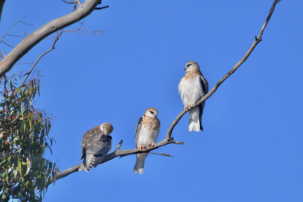 Black-shouldered Kites ( Young still waiting )