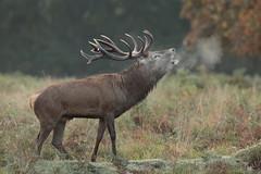 Red Deer Stag (HH)  (由  Hammerchewer