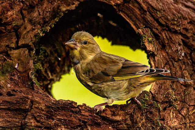 Greenfinch 2  Otterbourne 2020