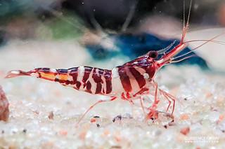 Red Tiger Shrimp (Caridina tigri) - caridina-tigri-male-20200504_213138