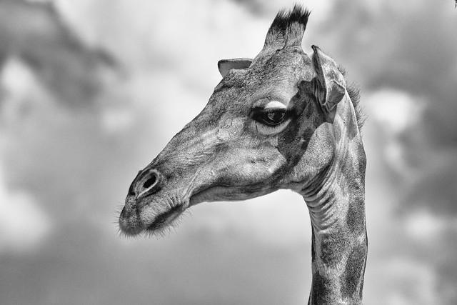 Giraffe - explored :-)