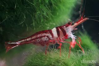 Harlequin Shrimp (Caridina spongicola) - caridina-spongicola-female-20200911_205050