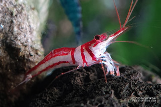 Harlequin Shrimp (Caridina woltereckae) - caridina-woltereckae-20200626_195549