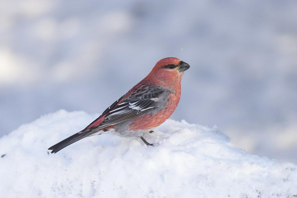 Pine Grosbeak (M) | Backyard birding Isle Lake Alberta ...