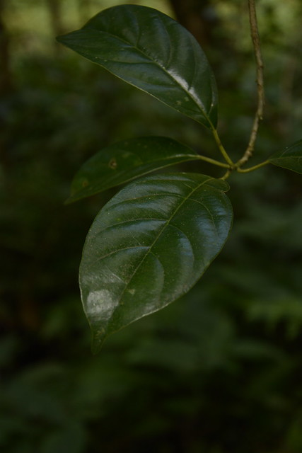 Mastixia arborea (6)
