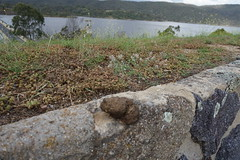 Wombat scat with a view