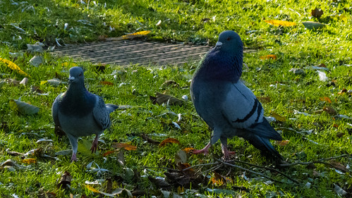 Amorous pigeons on a frosty morning