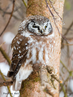 Boreal Owl 006 | by Phocal Art